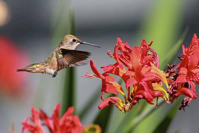 Photograph - Anna's Hummingbird Img 3247 by Craig Strand