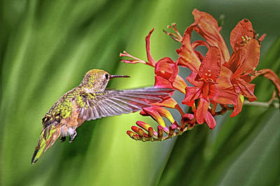 Photograph - Anna's Hummingbird Img 3258 by Craig Strand