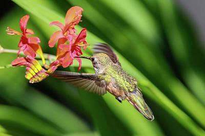 Photograph - Anna's Hummingbird Img 3260 by Craig Strand