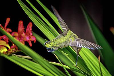 Photograph - Anna's Hummingbird Img 3267 by Craig Strand