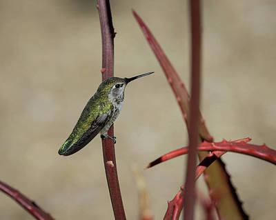 Photograph - Anna's Hummingbird-img_281818 by Rosemary Woods-Desert Rose Images