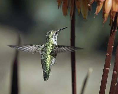 Photograph - Anna's Hummingbird-img_282818 by Rosemary Woods-Desert Rose Images