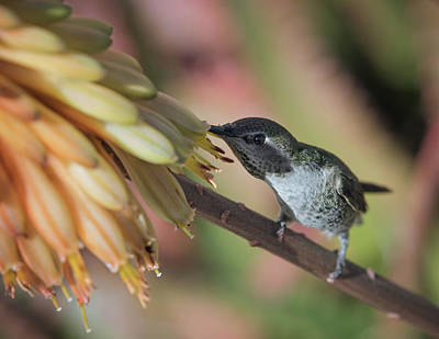 Photograph - Anna's Hummingbird-img_283018 by Rosemary Woods-Desert Rose Images