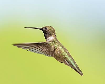 Photograph - Annas Hummingbird In Flight by Loree Johnson