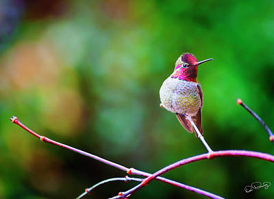 Photograph - Anna's Hummingbird Ix by Dee Browning