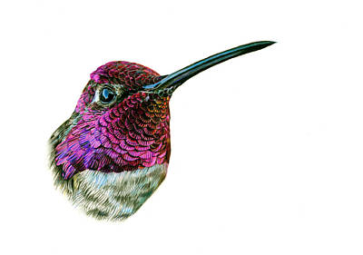 Hummingbird Drawing - Anna's Hummingbird by Logan Parsons