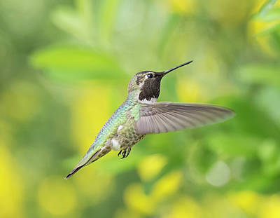 Photograph - Anna's Hummingbird by Loree Johnson