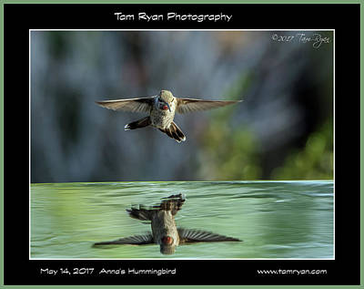 Photograph - Anna's Hummingbird Matte 2 Id by Tam Ryan