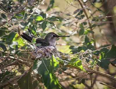 Photograph - Anna's Hummingbird Nest-img_277518 by Rosemary Woods-Desert Rose Images