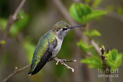 Anna's Hummingbird On Lime Tree Art Print