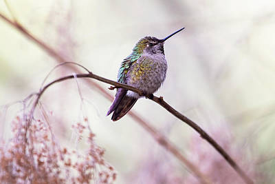 Photograph - Annas Hummingbird by Peggy Collins