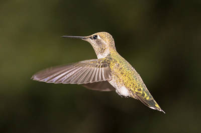 Photograph - Anna's Hummingbird by Phil Stone