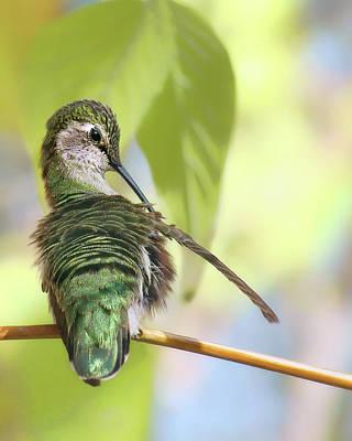 Photograph - Anna's Hummingbird - Preening by Nikolyn McDonald