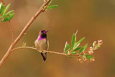 Photograph - Anna's Hummingbird by Ram Vasudev