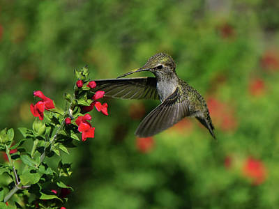 Photograph - Anna's Hummingbird by Richard Stephen