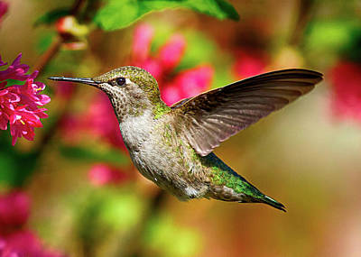 Photograph - Anna's Hummingbird by Sheldon Bilsker