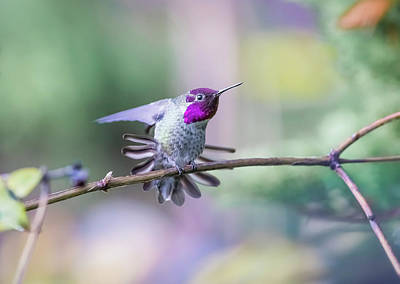 Anna's Hummingbird Stretching Art Print