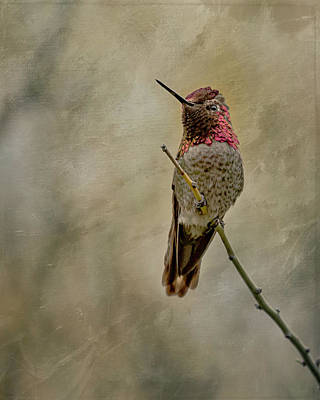 Photograph - Anna's Hummingbird by Teresa Wilson