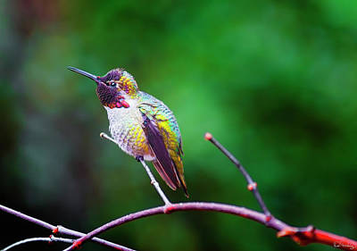 Photograph - Anna's Hummingbird V by Dee Browning
