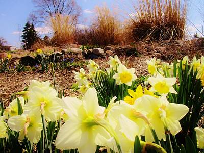 Photograph - Announcement Of Spring by Sharon Ackley