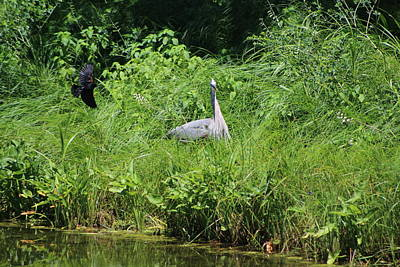 Annoyed - Heron And Red Winged Blackbird 1 Of 10 Art Print