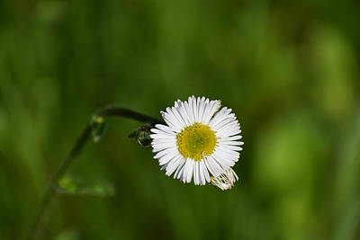 Photograph - Annual Fleabane 1 by Nina Kindred