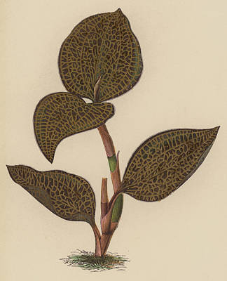 Orchids Drawing - Anoectochilus Setaceus, Aurea by English School