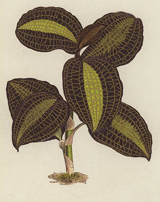 Orchids Drawing - Anoectochilus Setaceus, The Bristly Anoectochilus by English School