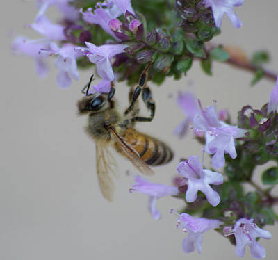 Photograph - Sweet Honeybee Version 2 by Marilyn Wilson
