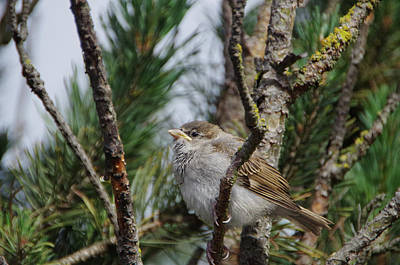 Photograph - Sparrow  by Marilyn Wilson
