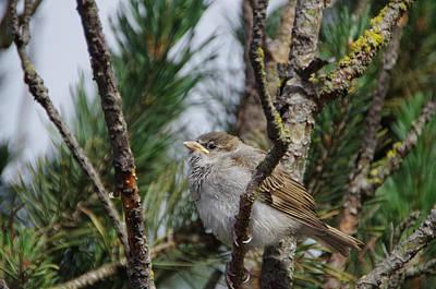 Photograph - Sparrow  by Marilyn Wilson