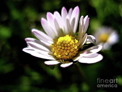 Photograph - Another Daisy by Nina Ficur Feenan