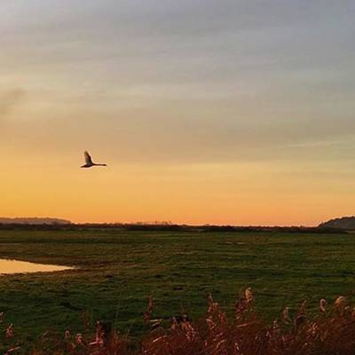 Marsh Photograph - Another Iphone Shot Of The Swan Flying by John Edwards