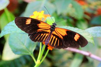 Photograph - Another Longwing by Kathryn Meyer