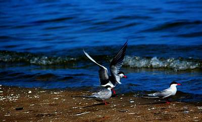 Photograph - Another One Take A Tern by Amanda Struz