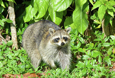Photograph - Another Surprised Raccoon by William Tasker