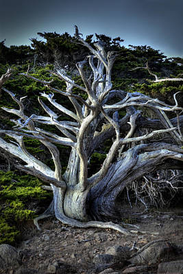 Photograph - Ansel's Cypress by Robert Melvin
