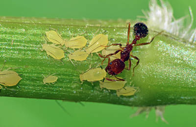 Photograph - Ant And Aphids by Larah McElroy