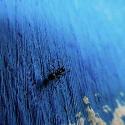 Photograph - Ant On Blue Wall by Depdc