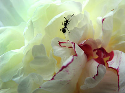 Photograph - Ant On Peonie by Nancy Griswold