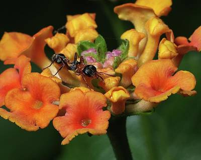 Print featuring the photograph Ant On Plant  by Richard Rizzo