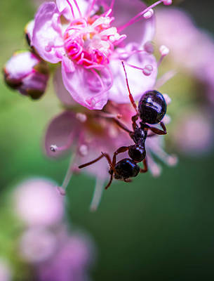 Photograph - Ant On The Pink Flower by Lilia D