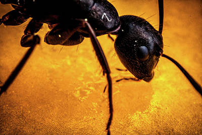 Photograph - Ant Super-macro X4 by Lilia D