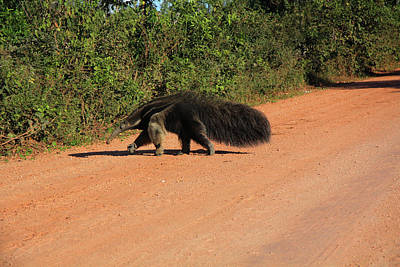 Photograph - Anteater Heads For Cover by Nareeta Martin