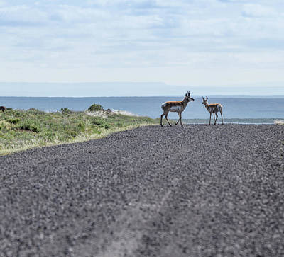 Photograph - Antelope Crossing by Jean Noren