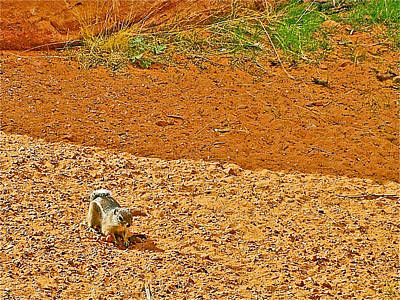 Antelope Ground Squirrel Along Mouse's Tank Trail In Valley Of Fire State Park-nevada Art Print by Ruth Hager