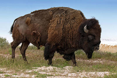 Photograph - Antelope Island Bison by Art Cole