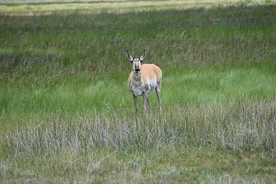 Prong Horned Antelope Lake John Swa Co Art Print