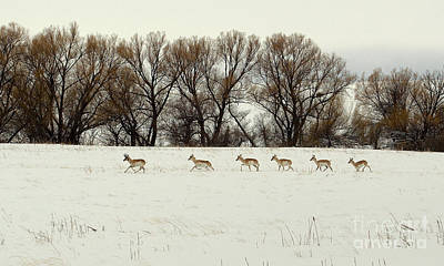 Photograph - Antelope On The Run by Anjanette Douglas