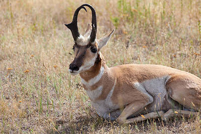 Photograph - Antelope Or Pronghorn by Fran Riley